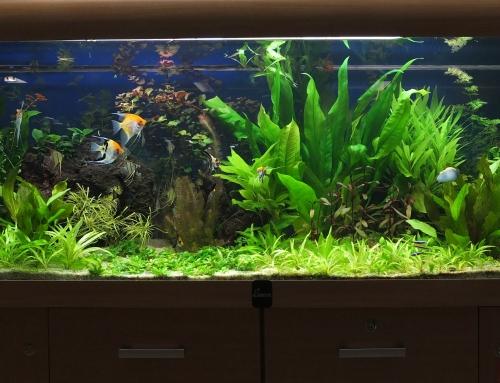 Rastlinkové akvárium so skalármi