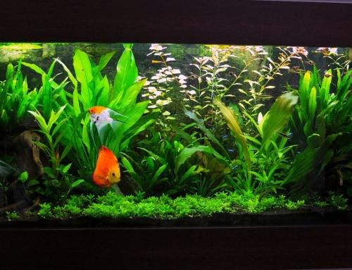 Spoločenské akvárium s terčovcami